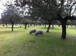 Cerdos-dehesa-comejamon-quercus